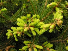 Picea abies Barryi (Ель Бери)