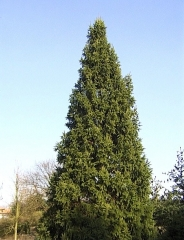 Ель обыкновенная / европейская Купрессина <br>Ялина звичайна / європейська Купрессіна <br>Picea abies Cupressina