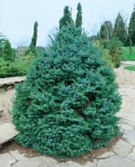 Ель сербская Нана <br>Picea omorika Nana<br>Ялина Сербська Нана