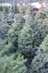 Picea Nana