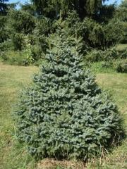 Picea Нана