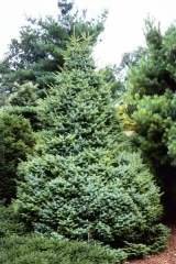 Ель сербская Нана <br>Picea omorika Nana