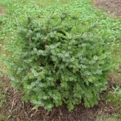 Ель сербская Нана (Picea omorika Nana) Киев