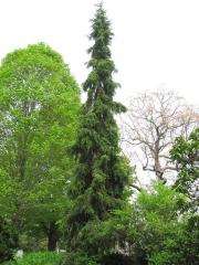 Ель сербская Пендула Picea omorika Pendula