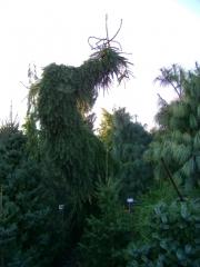 Picea omorika Pendula