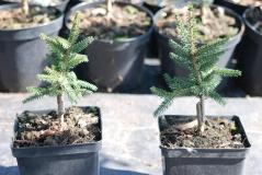 Picea Aureospicata 3л