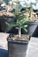 Ель восточная Ауреоспиката / Picea orientalis Aureospicata 3л