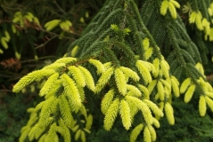 Picea orientalis Aurea