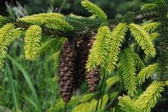 Picea orientalis Aureospicata Киев