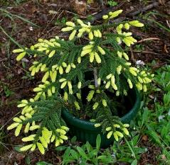 Ель восточная Ауреоспиката (Picea orientalis Aureospicata) фото