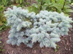 Ель колючая Монтгомери (Picea pungens Montgomery) Киев
