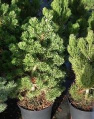 Сосна горная Гном (Pinus mugo Gnom) в контейнере