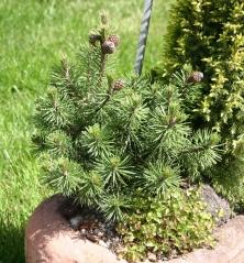 Сосна горная Хампи Pinus mugo Humpy Киев