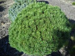 Сосна горная Мопс Pinus mugo Mops