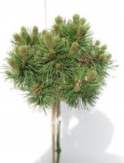 Pinus mugo Mops на штамбе 0,65-0,85м