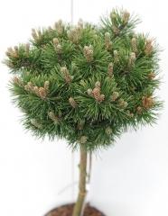 Pinus mugo Mops на штамбе 0,75-0,8м