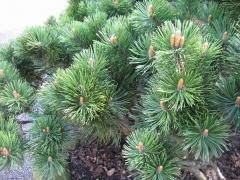 Сосна горная Мопс Pinus mugo Mops Киев