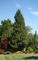 Сосна Веймутова Фастигиата Pinus strobus Fastigiata