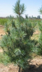Сосна Веймутова Фастигиата (Pinus strobus Fastigiata) Киев
