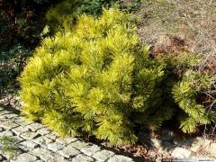Сосна горная Винтер Голд Pinus mugo Winter Gold