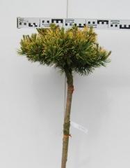 Pinus mugo Winter Gold на штамбе 0,7-0,75м