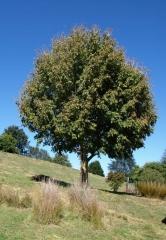 Клён ясенелистный <br>Acer negundo<br>Клен ясенелистий