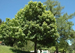 Acer platanoides (Клён обыкновенный)
