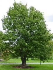Клён ложноплатановый Acer pseudoplatanus (Явор)