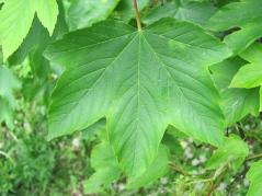 Клён ложноплатановый лист
