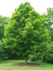 Клён серебристый Acer saccharinumкупить