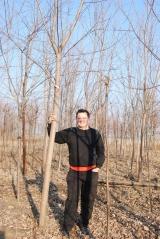 Клён серебристый простое доступное аллейное дерево.
