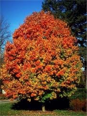 Acer saccharum осенью