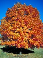 Клён сахарный Acer saccharum (Клён канадский)