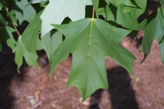 Acer saccharum (Клён канадский)