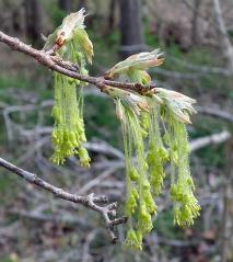 Клён сахарный (канадский) Acer saccharum
