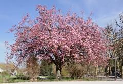 Сакура мелкопильчатая Канзан на штамбе <br> Сакура дрібнопильчаста Канзан на штамбі<br>Prunus serrulata Kanzan on shtambe