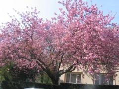 Вишня мелкопильчатая Kanzan Prunus serrulata Kanzan (Сакура)