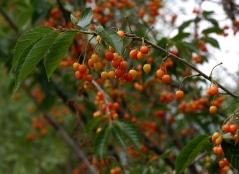 Вишня/Сакура мелкопильчатая Канзан плоды