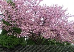 Prunus serrulata Kanzan купить