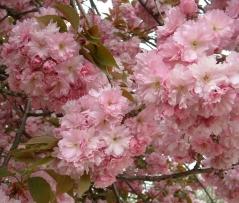 Prunus serrulata Kanzan (Сакура) цветы