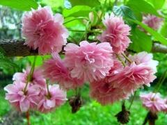 Вишня мелкопильчатая Kanzan / Prunus serrulata Kanzan цветение