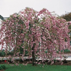Сакура мелкопильчатая Кику-Шидаре на штамбе <br>Сакура дрібнопильчаста Кіку-Шідаре на штамбі <br>Prunus serrulata Kiku-shidare-zakura on shtambe