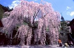 Вишня/сакура мелкопильчатая Кику-Шидаре