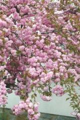 Сакура Кику-Шидаре цветение
