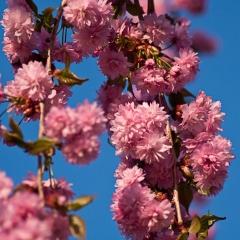Сакура Кику-шидаре цветы