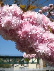 Черемуха мелкопильчатая Kiku-shidare Prunus serrulata Kiku-shidare (Kiku-shidare-Zakura)