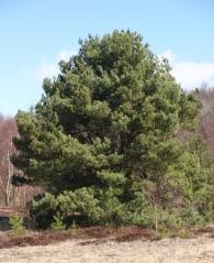 Сосна обыкновенная <br>Сосна звичайна <br>Pinus sylvestris