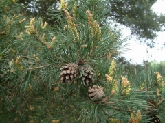 Pinus sylvestris Киев