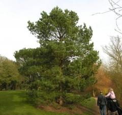 Сосна обыкновенная Сосна звичайна Pinus sylvestris