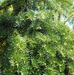 Пихта бальзамическая Abies balsamea фото